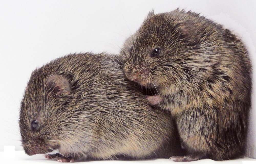Highly social and monogamous prairie voles (consolation display)