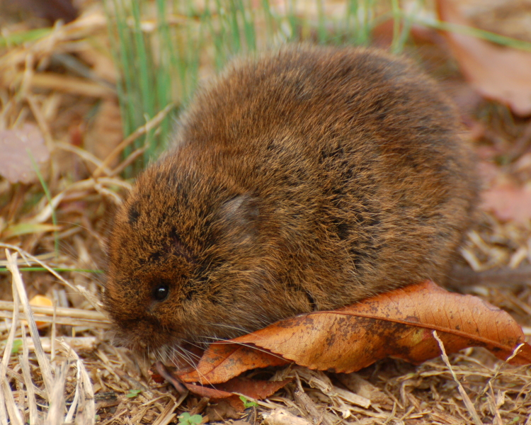 Notoriously promiscuous male meadow vole