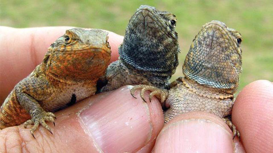 Three varieties of male side-blotched lizards